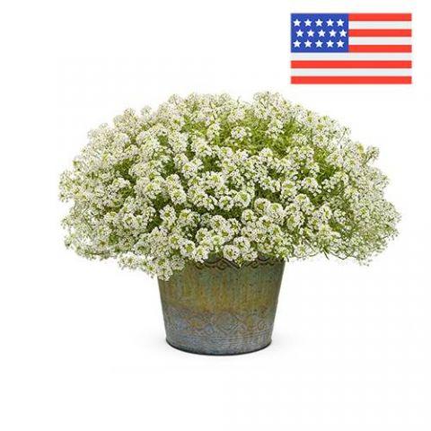 """Отдушка """"Цветы алиссума"""", США"""